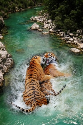 Awwwh My tigers in love :')