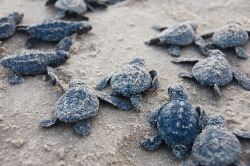 jacobybolesbury:  Baby sea turtle release - South Padre Island