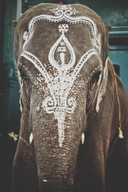 to-come-undone:  I absolutely adore elephants. They hold so much emotion and they are such friendly giants. They are beautiful but these photographs with the paint on them makes me sad for some reason. I dont know the history of it but they are not wild and free and their eyes always look hopeless.
