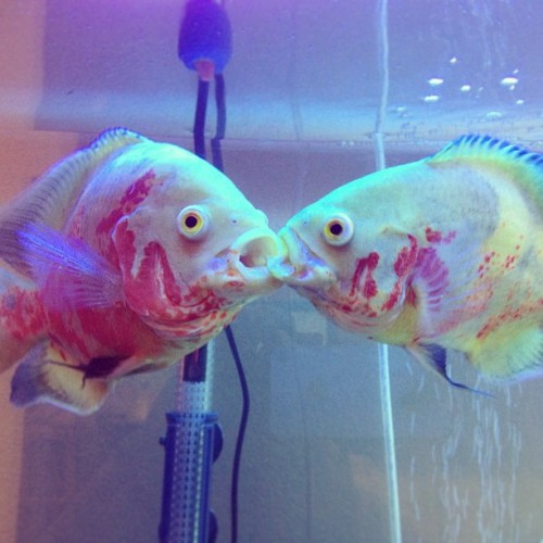 tammywammy0618:  How sweet, they're #kissing! Hahaha 😘 #oscars #fishes #aquarium #fishtank #albinooscars