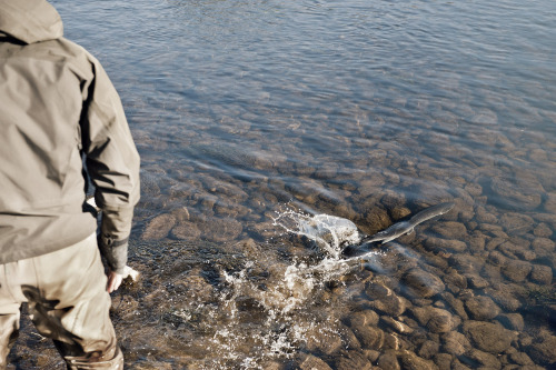 Catch & Release. Salmon fishing in River Spey, Scottland.