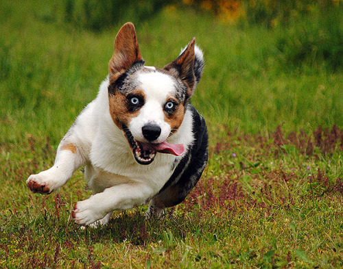 simonsaysbark:  OMG  — running REALLY fast! Simon pretty much never trots. It's going from point a to b at a dead gallop that he loves best.  I LOVE SIMON FACE WEEK!!!!