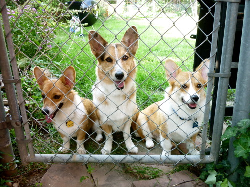corgiaddict:  There ain't no party like a corgi party 'cause a corgi party don't stop! submitted by Lucienne
