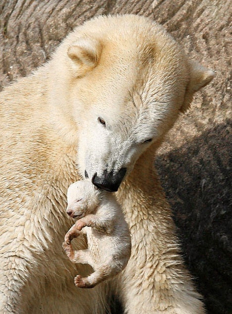 marjoleinhoekendijk:  theanimaleffect:  Newborn Baby Polar Bear by rarecollection.ch on Flickr.  ☽☉☾ Pagan, Viking, Nature and Tolkien things ☽☉☾