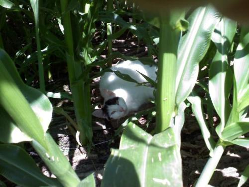 just hiding out in the corn patch.