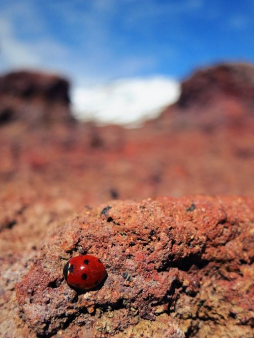 creepicrawlies:   Ladybird on lava by ~Gironimo