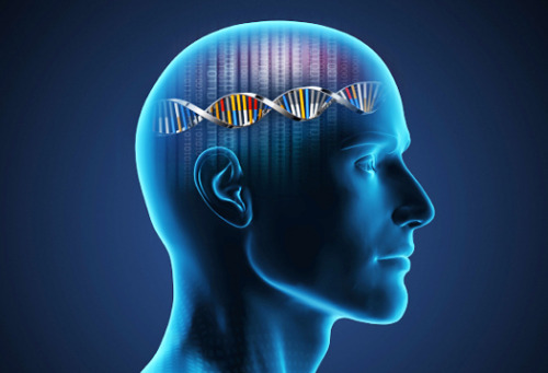 "Gladstone scientists discover that DNA damage occurs as part of normal brain activity Findings provide additional support for strategies to fight Alzheimer's disease Scientists at the Gladstone Institutes have discovered that a certain type of DNA damage long thought to be particularly detrimental to brain cells can actually be part of a regular, non-harmful process. The team further found that disruptions to this process occur in mouse models of Alzheimer's disease—and identified two therapeutic strategies that reduce these disruptions. Scientists have long known that DNA damage occurs in every cell, accumulating as we age. But a particular type of DNA damage, known as a double-strand break, or DSB, has long been considered a major force behind age-related illnesses such as Alzheimer's. Today, researchers in the laboratory of Gladstone Senior Investigator Lennart Mucke, MD, report in Nature Neuroscience that DSBs in neuronal cells in the brain can also be part of normal brain functions such as learning—as long as the DSBs are tightly controlled and repaired in good time. Further, the accumulation of the amyloid-beta protein in the brain—widely thought to be a major cause of Alzheimer's disease—increases the number of neurons with DSBs and delays their repair. ""It is both novel and intriguing team's finding that the accumulation and repair of DSBs may be part of normal learning,"" said Fred H. Gage, PhD, of the Salk Institute who was not involved in this study. ""Their discovery that the Alzheimer's-like mice exhibited higher baseline DSBs, which weren't repaired, increases these findings' relevance and provides new understanding of this deadly disease's underlying mechanisms."" In laboratory experiments, two groups of mice explored a new environment filled with unfamiliar sights, smells and textures. One group was genetically modified to simulate key aspects of Alzheimer's, and the other was a healthy, control group. As the mice explored, their neurons became stimulated as they processed new information. After two hours, the mice were returned to their familiar, home environment. The investigators then examined the neurons of the mice for markers of DSBs. The control group showed an increase in DSBs right after they explored the new environment—but after being returned to their home environment, DSB levels dropped. ""We were initially surprised to find neuronal DSBs in the brains of healthy mice,"" said Elsa Suberbielle, DVM, PhD, Gladstone postdoctoral fellow and the paper's lead author. ""But the close link between neuronal stimulation and DSBs, and the finding that these DSBs were repaired after the mice returned to their home environment, suggest that DSBs are an integral part of normal brain activity. We think that this damage-and-repair pattern might help the animals learn by facilitating rapid changes in the conversion of neuronal DNA into proteins that are involved in forming memories."" The group of mice modified to simulate Alzheimer's had higher DSB levels at the start—levels that rose even higher during neuronal stimulation. In addition, the team noticed a substantial delay in the DNA-repair process. To counteract the accumulation of DSBs, the team first used a therapeutic approach built on two recent studies—one of which was led by Dr. Mucke and his team—that showed the widely used anti-epileptic drug levetiracetam could improve neuronal communication and memory in both mouse models of Alzheimer's and in humans in the disease's earliest stages. The mice they treated with the FDA-approved drug had fewer DSBs. In their second strategy, they genetically modified mice to lack the brain protein called tau—another protein implicated in Alzheimer's. This manipulation, which they had previously found to prevent abnormal brain activity, also prevented the excessive accumulation of DSBs. The team's findings suggest that restoring proper neuronal communication is important for staving off the effects of Alzheimer's—perhaps by maintaining the delicate balance between DNA damage and repair. ""Currently, we have no effective treatments to slow, prevent or halt Alzheimer's, from which more than 5 million people suffer in the United States alone,"" said Dr. Mucke, who directs neurological research at Gladstone and is a professor of neuroscience and neurology at the University of California, San Francisco, with which Gladstone is affiliated. ""The need to decipher the causes of Alzheimer's and to find better therapeutic solutions has never been more important—or urgent. Our results suggest that readily available drugs could help protect neurons against some of the damages inflicted by this illness. In the future, we will further explore these therapeutic strategies. We also hope to gain a deeper understanding of the role that DSBs play in learning and memory—and in the disruption of these important brain functions by Alzheimer's disease."""