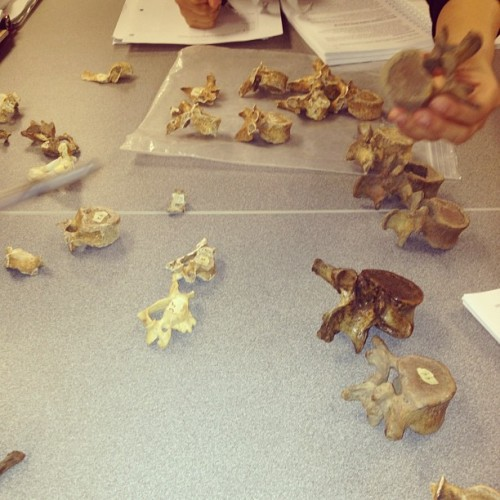 Vertebrae!!! #forensic #anthropology #vertebrae