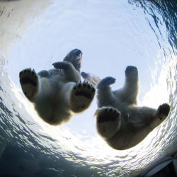 theanimalblog:  Ivan, an eight-year old male polar bear and Noel, a 10-year female polar bear sit on a glass viewing chamber at Copenhagen Zoo, Denmark.  Picture: HOTSPOT MEDIA