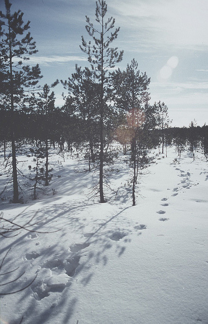 nesola:  Wolf tracks by GO 70° North on Flickr.