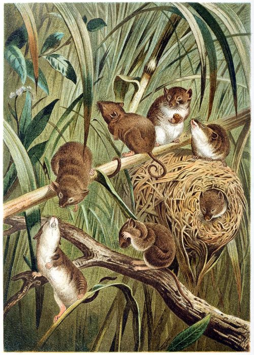 oldbookillustrations:  Eurasian harvest mouse.  From Brehms Tierleben (Brehm's animal life) vol. 2, under the direction of Alfred Edmund Brehm, Leipzig & Vienna, 1900.  (Source: archive.org)