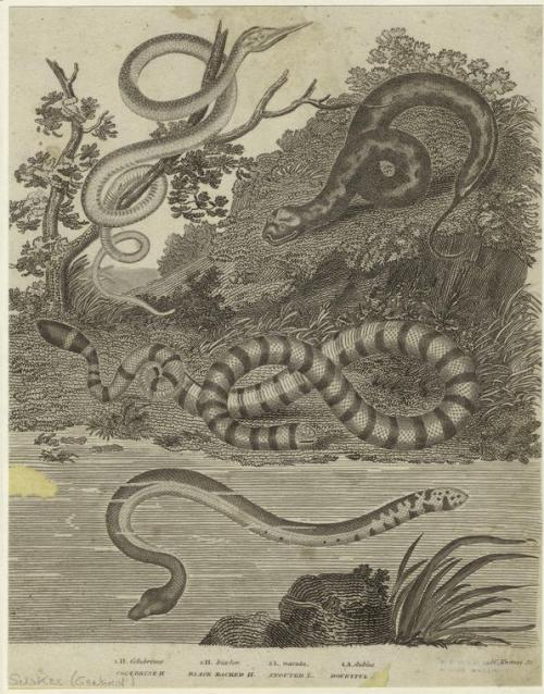 compendium-of-beasts:  [Snakes outdoors.]  via NYPL