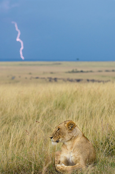vurtual:  Lion and Lightning (by muddii)