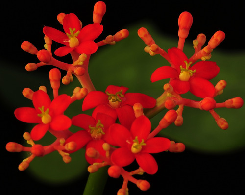 flora-file:  Jatropha podagrica……… Explore (by graftedno1)