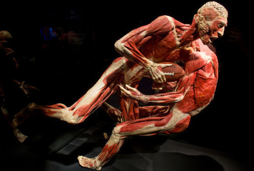 "'Body Worlds: Pulse' at Discovery Times Square A man and woman, stripped of skin, are balanced in a balletic embrace, but their skulls and thoracic and abdominal cavities are open from behind and their spines are pulled backward, with organs and muscles attached. A woman stands erect, also skinless, a slightly melancholy expression emerging from her facial musculature, her belly sliced vertically so we can see her liver and intestines, along with a 5-month-old fetus in her womb. Another flayed body welcomes us into this new exhibition, ""Body Worlds: Pulse"" at Discovery Times Square, holding aloft, with pride, the complete coat of skin that has been removed from his body. These are not models (or allusions to ""The Silence of the Lambs"") but actual people who, since 1983, have donated their bodies for such preservation and display. More than 13,200 of the living made such promises; 1,254 of them are deceased, and some of them (with organs from other sources) appear among the 200 specimens displayed here. You might assume that sliced and pulled-apart human cadavers, preserved in all the freshness of death by infusions of plastics and resin, no longer have the power to shock or amaze. After all, since the German anatomist Gunther von Hagens invented the process he calls plastination in 1977, then started the donation program with his Institute of Plastination, and finally began mounting specimens in ""Body Worlds"" exhibitions in 1995, some 36 million people have seen the shows in nearly two dozen countries in 11 different incarnations. (This one, ""Pulse,"" was designed for New York.) A competitor arose, Premier Exhibitions, and opened a series of successful exhibitions in the United States (including one that has been closed at the South Street Seaport since Hurricane Sandy.  (Source: The New York TImes)"