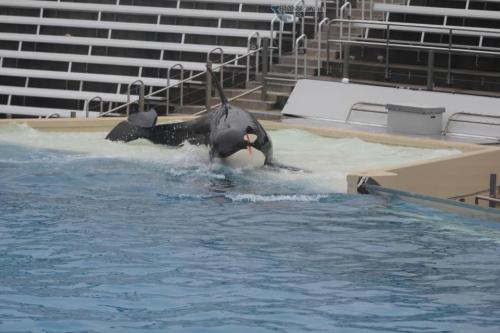 soleilalae:  save-lolita:  Orkid - July 16th 1998 - Seaworld San Diego9-year-old female Orkid was performing a hydro-hop behaviour during a night show. The trainer accidentally hit her tail flukes with his hand upon his re-entry and she responded by hitting him in the stomach with her head. She responded to a stage call calmly.  Easily offended it seems.  Can't say to blame her even though it was an accident on the trainer's part.  Why is her face bleeding here?  This is from last year when Kalia rammed / raked her.