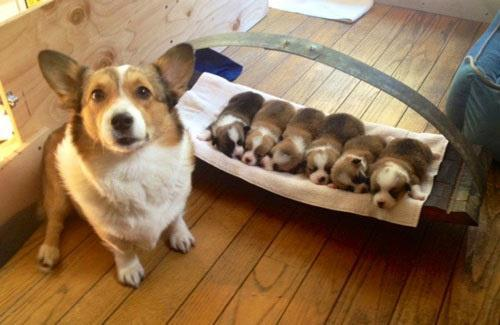 zoeythecorgi:  proud momma.  For @librarianneeb
