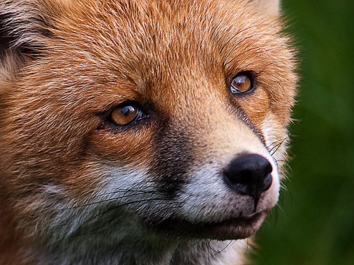 brutalgeneration:  Fox by artography64 on Flickr.