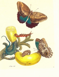 Botanical Illustration: Insects of Surinam by Maria Sibylla Merian