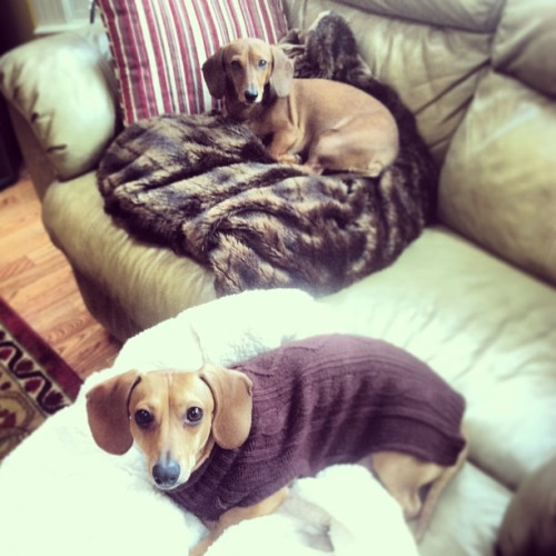 dachshunds:  Blanket hogs.