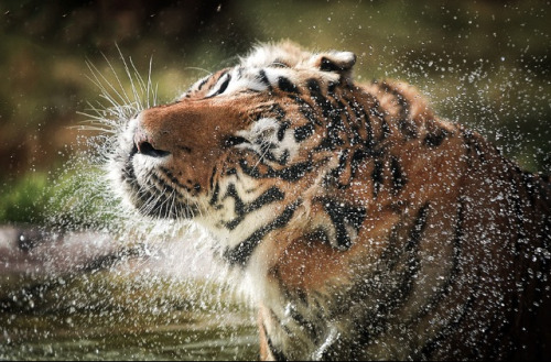 theanimalblog:  After Shower. Photo by Mohamed Al Jaberi