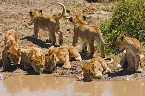 lion cubs drinking at the waterhole, masai mara, kenya.