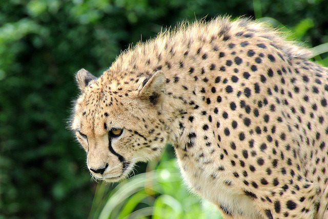 cheetah-chaser:  acinonyx jubatus by Joachim S. Müller on Flickr.