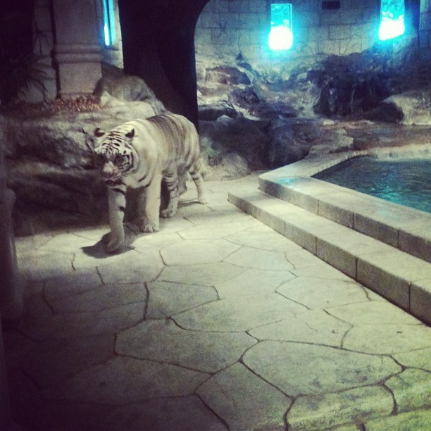 The most beautiful animal I have ever seen. #whitetiger #breathtaking