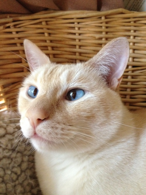Romeo is a typical Siamese, with a loud meow and a loving personality!