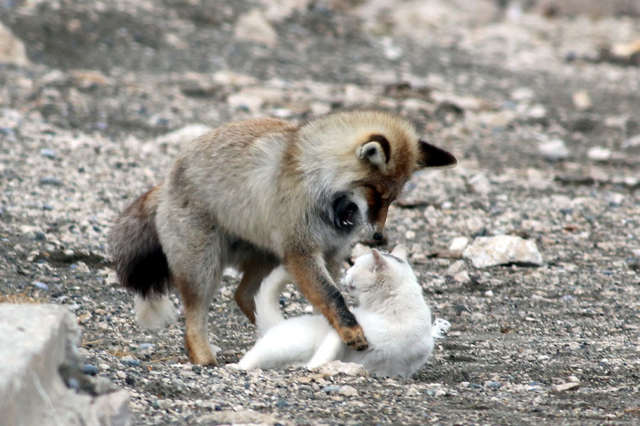 Fox arrives at the decision to not eat his new friend.