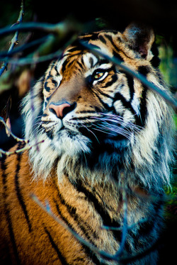 tigersareforever:  edinburgh_zoo019 by Kris Doubleyou on Flickr.