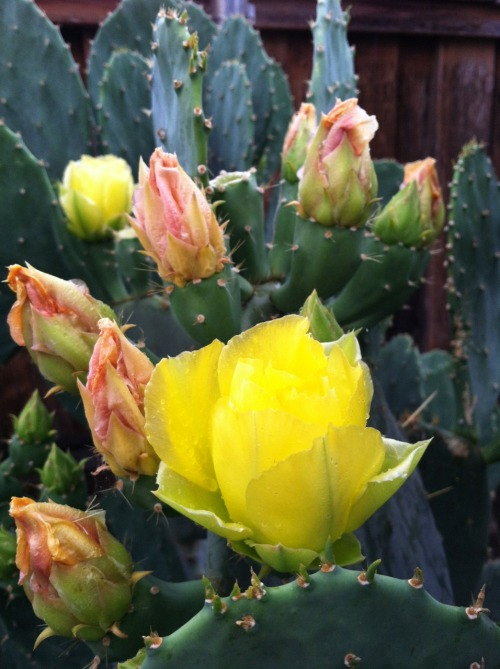 Opuntia engelmannii blooms look just as stunning as they wither.