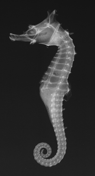 sidetrackedmeanderings:  Dhiho's Seahorse Credit: Sandra J. Raredon, Division of Fishes, National Museum of Natural History, Smithsonian Institution.This Japanese seahorse is just over one inch (2.5 cm) long. Its curly tail can anchor the seahorse to algae or coral.