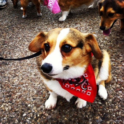 conneythecorgi:  Bandana! #corgi #corgigram #dog
