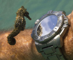 """thefingerfuckingfemalefury:  manta-rays-on-gallifrey:  neilnevins:  stunningpicture:  A seahorse admiring his own reflection from a divers watch.  or maybe he's checking the fucking time. seahorses got places to go too y'know  The seahorse is one of the slowest fish in the ocean, the smallest able to move themselves at about 6 feet per hour. So if that seahorse has someplace to be I hope they've left a lot of time to get there.  """"There is no way I am going to be able to pick the kids up from soccer practice now…"""""""