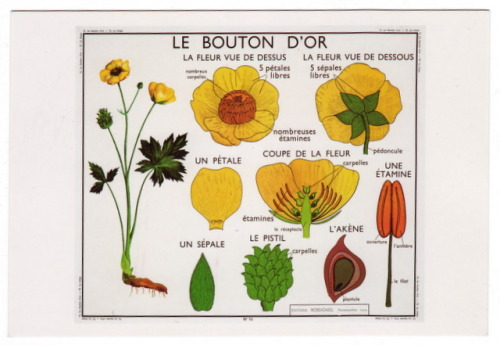 Le Bouton D'Or, buttercup, 1955 | art by Editions Rossignol, from the Art of Instruction postcard set | sent to Norcross, Georgia, January 2013