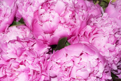 terrysdiary:  My favorite flowers are Peonies #3