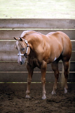 showgirlglitz:  Awesome N Command love this horse!