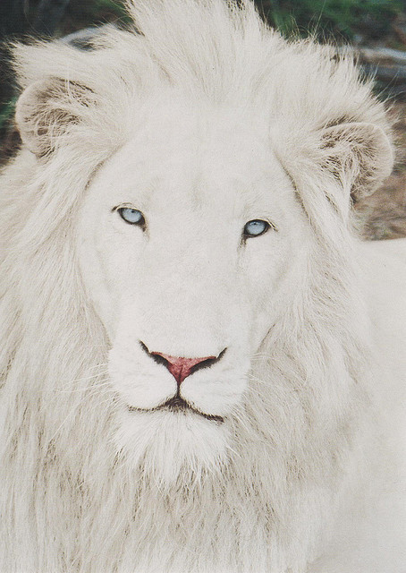 ethereo:  White Lion | Flickr - Photo Sharing!