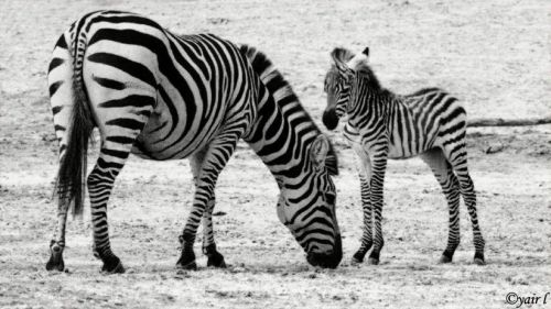 Plains Zebra by Yair L