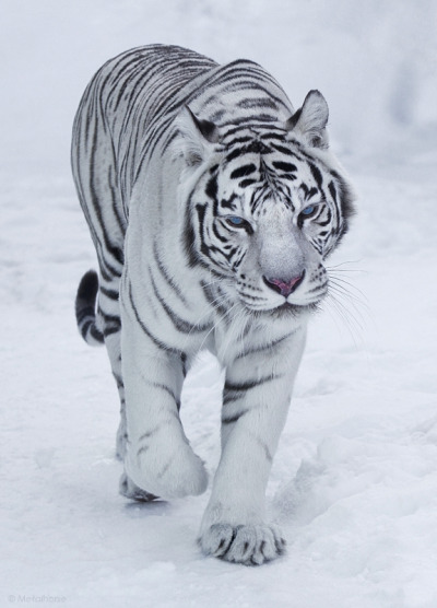 llbwwb:  Beautiful Bengal by Metalhorse.