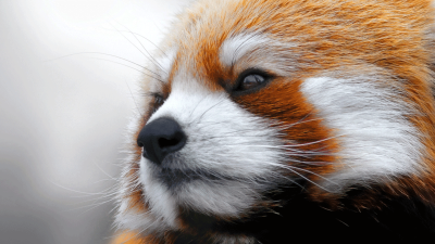 goooseling:  This Red Panda is definitely pondering something pretty deep - Imgur