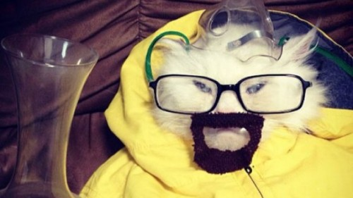 A cat dressed as Walter White.