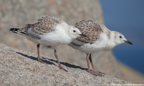 Silver Gull juveniles by ~SirTimid Silver gulls are the most common gull in Australia and are often simply known as seagulls there.  They can be found inland as well as on the coasts.  Silver gull nests are saucer-shaped and constructed of seaweed, roots and plant stems, built on the ground in low vegetation on islets, rocks, salt-piles, jetties, and sometimes old boats. Parents share incubation duties, and after hatching the chicks are independent after about six weeks.  The juveniles have brown patterning on their plumage as camouflage to hide them from predators.   Gulls are chiefly scavengers and will follow fishing boats to feed on the offal of gutted fish.  They will sometimes dive for live fish, and will also eat marine worms and young birds, including those of its own kind.  Gulls can drink both salt and fresh water and eliminate excess salt through a pair of glands located above the eyes.(x)(x)