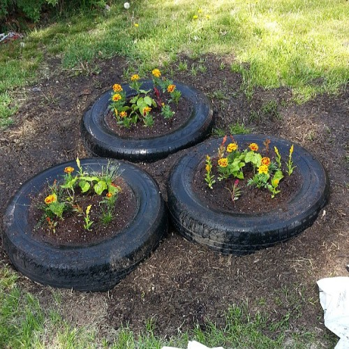 Summer planting.=) #summer #marigolds #moon flowers #plants