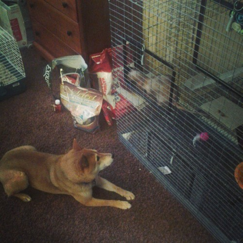 #Ferret made a #dog friend. How cute! #animals #pets #notmine #sadface
