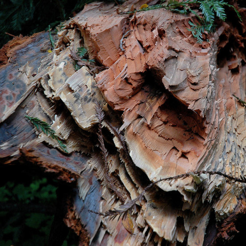 milktree:  cracked redwood by superfamous on Flickr. OH MY FUCKING GOD