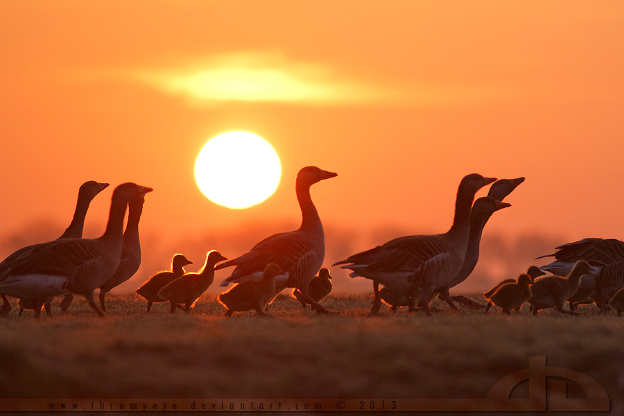 life-of-planet-earth:  Early Morning Gosling March by ~thrumyeye