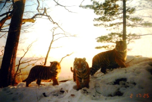 GOOD NEWS:  Tigers Making A Comeback Across Asia by Becky Oskin Camera trap images reveal tiger numbers rebounding across Asia, especially in southwestern India, where young tigers are leaving protected reserves due to population pressure, according to the Wildlife Conservation Society. The WCS attributes the rise indifferent tiger groups to better law enforcement and protection of additional habitat. For example, a notorious poaching ring was busted in Thailand last year, and the gang leaders have been given prison sentences of up to five years — the most severe punishments for wildlife poaching in Thailand's history, the conservation group said in a statement. Tiger numbers have been rising steadily in Thailand's Huai Kha Khaeng Wildlife Sanctuary since 2007, with a record 50-plus tigers counted last year, the WCS said. The sanctuary is part of the country's Western Forest Complex. This core spans 7,000 sq mi (18,000 sq km) and is home to an estimated 125 to 175 tigers… (read more: Live Science)                   (photo: Wildlife Conservation Society)