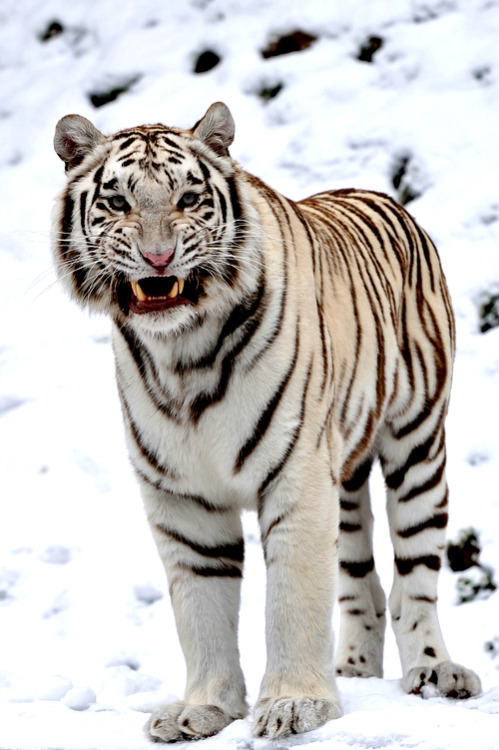frncsc187:  White Tiger | Source